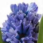 Hyacinten op glas - bloeien zonder aarde
