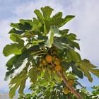 Een vijgenboom vol vijgen