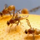 Hoe kan ik fruitvliegjes tegengaan?