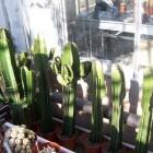 Trendy kamerplanten: de Euphorbia ingens