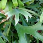 Trendy kamerplanten: de hertshoorn