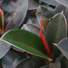 Ficus elastica of rubberplant, een sierlijke kamerplant