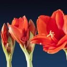 Amaryllis of hippeastrum: spectaculaire bloemen in huiskamer