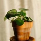 Kamerplanten die zichzelf vermeerderen: makkelijk te stekken