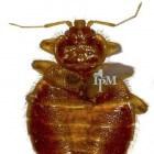 Bedbugs bestrijden, hoe doe u dat?