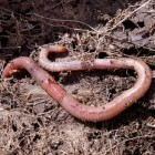 Binnenshuis composteren: compost maken met een wormenbak