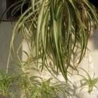 De sprietplant of graslelie: stekken en verzorgen