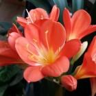 Clivia miniata of boslelie; de mooiste kamerplant