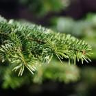 Kerstboom: Welke boomsoort moet je kiezen?