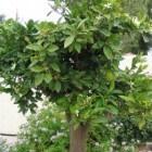 Citrusfruit is veelzijdig, en ook in Nederland te kweken