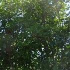 Red Robin is groenblijvend en geschikt voor veel tuinen