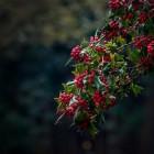 Ilex aquifolium is een bonte hulst die groen blijft