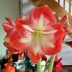 Amaryllis in pot of op glas - Ridderster of hippeastrum
