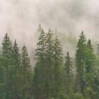 Coniferen die altijd groen blijven zijn geliefd bij velen