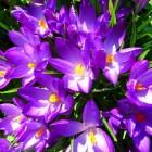 Als de krokussen gaan bloeien
