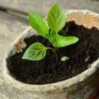 Het voorzaaien van planten