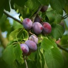 Pruimenboom snoeien, hoe en wanneer