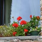 Geranium kan geplaatst worden in de tuin of op het balkon