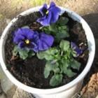 Viooltjes zijn de dankbaarste bloemen in winter en voorjaar