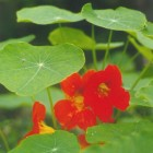 Oost-Indische kers – eetbare plant tropaeolum