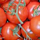 Tomaten kweken, een hoge productie halen