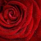 Een rozenstruik planten, snoeien en onderhouden