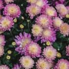 Chrysanten zijn herfstbloemen, kamerplanten en snijbloemen