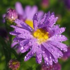 Bloeiende asters brengen kleur in de tuin