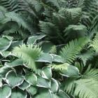 Opvallende bladplanten voor in de schaduw