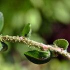 Schadelijke insecten te lijf met natuurlijke vijanden