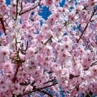 Sierkers of Prunus geschikt voor kleine en grote tuin