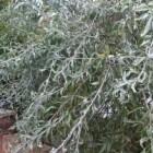Wilgbladige peer of Pyrus salicifolia