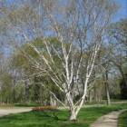 Meerstammige bomen als blikvanger in de tuin