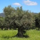 De mooie olijfboom