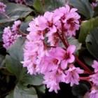 Schoenlappersplant of bergenia: ook mooi in de winter