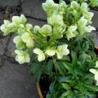 Helleborus (kerstroos): vaste plant die bloeit in de winter