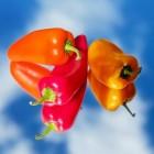 Tuinieren: tips en trucs voor het telen van paprika