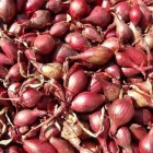 Tuinieren; tips en trucs voor het telen van sjalot
