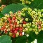 Viburnum: groenblijvende en bladverliezende heesters