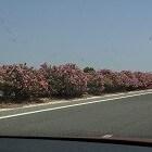 De oleander plant geeft ook in Nederland mooie bloemen