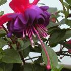 Zomerplanten - fuchsia, geranium en hortensia