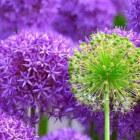 Bloemen in de tuin combineren, van april tot oktober