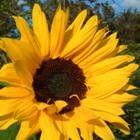 Zomerplanten - klaproos, vlijtige lies en zonnebloem