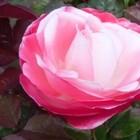 Rozen - grootbloemige rozen en klimrozen