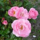 Patiorozen, Excellence-rozen en het Rozenconcours