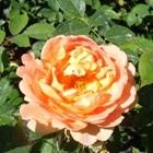 Rozen - Engelse rozen
