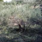 Snoeitechniek van een olijfboom