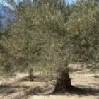 Land bewerken onder de olijfboom