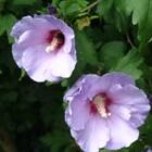 Heesters - Boerenjasmijn, Forsythia en Hibiscus