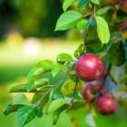 De tijd van de appeloogst